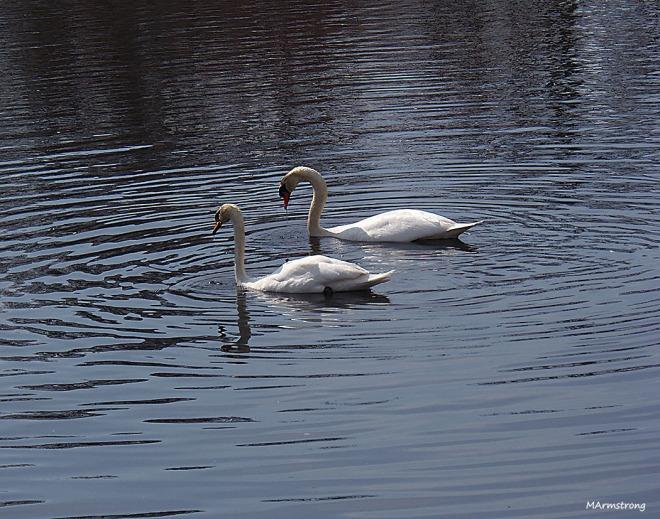 swan 93