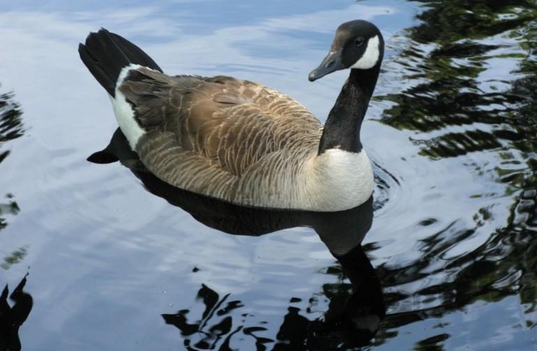 cropped-75-geese009.jpg