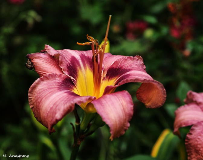 Last Chinese Day Lily