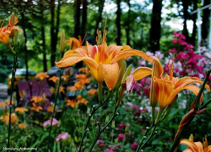 Day Lilies in Garden