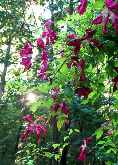 96-Sunrise_on_clematis-2