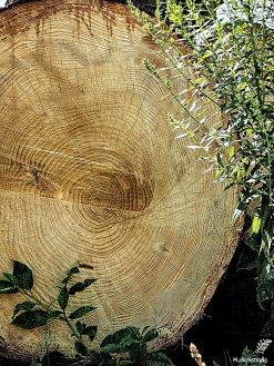 A huge log destined for lumber