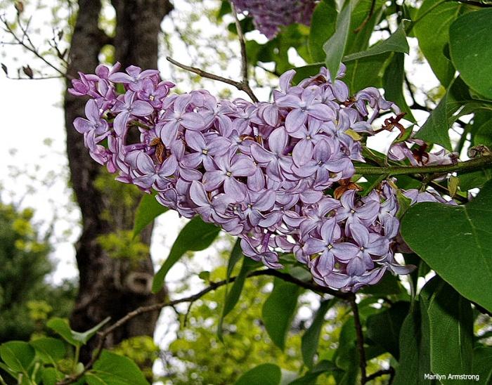 Lilac-3