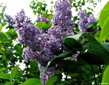 Lilacs sping 2013