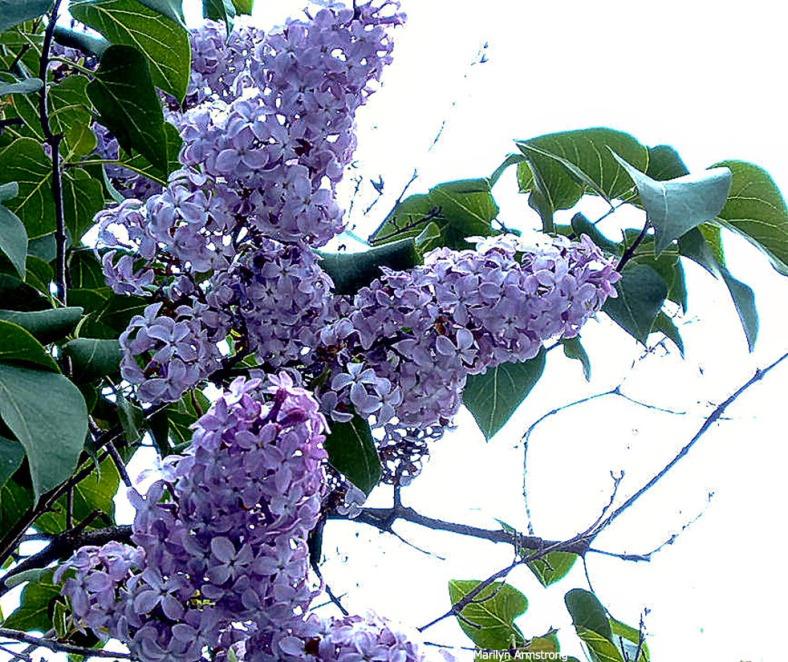Lilac-6