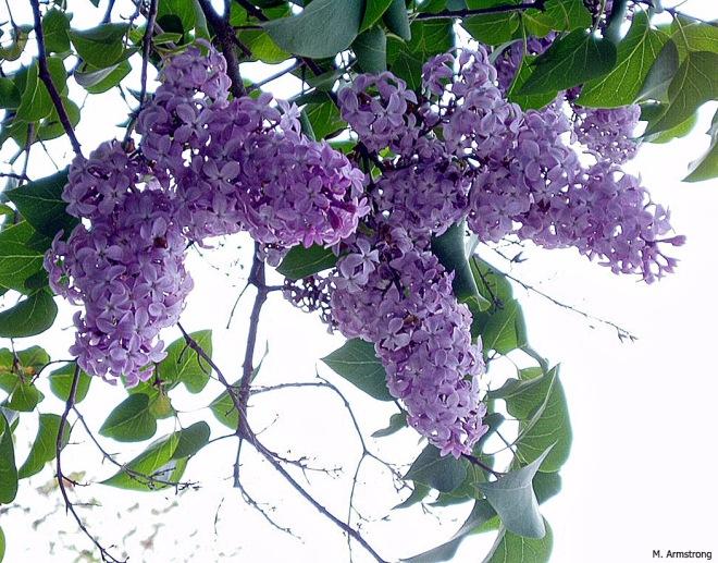 Lilacs-7