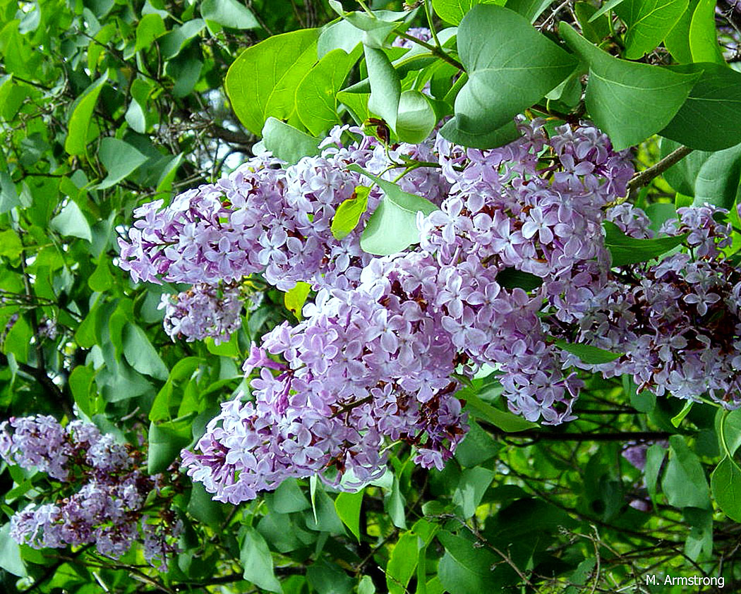 Flowers that look like lilacs