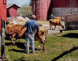 cows come home