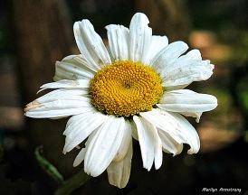 96-Daisy-NK-1