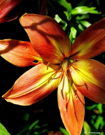96-Special Lily-NK