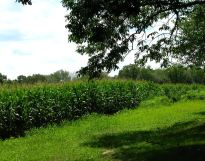 CornGrowing300sz72