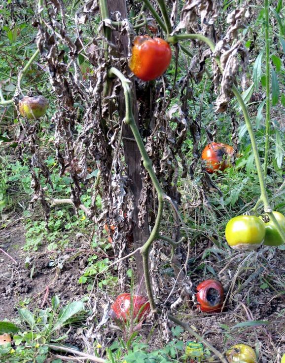 75-LastTomatoesHP-2