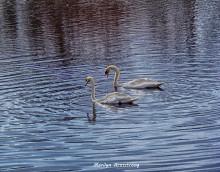 swans a pair