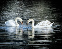 Two swans in the pond in Whitinsville