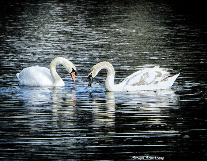 "Whitins Pond has for as long as we've lived in the valley been ""swan territory."""