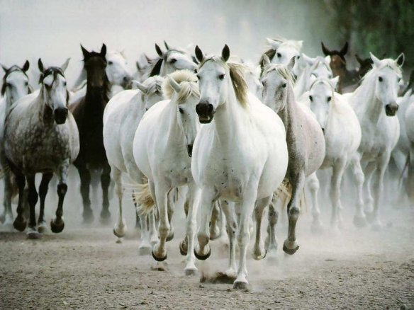 White Horse Wallpapers  25