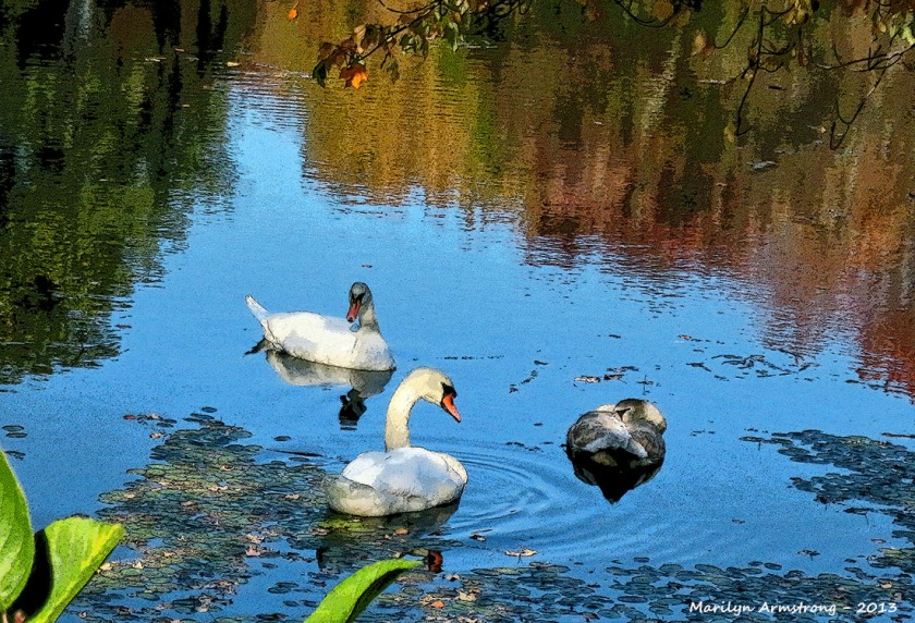 The swans were taking a siesta. This was a very brief moment when they actually lifted their heads up before going right back to sleep.