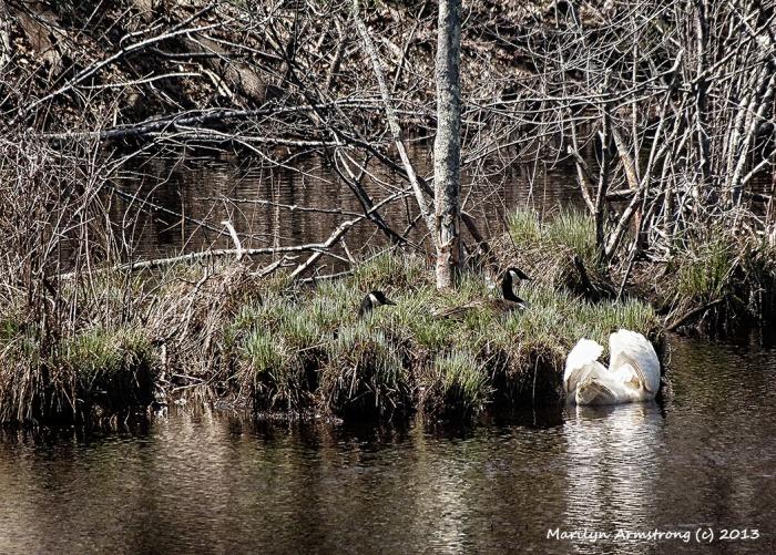 Battle rages Swans V Geese