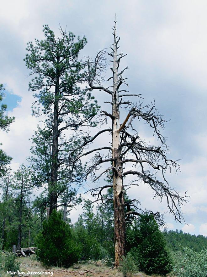 Desert pine trees