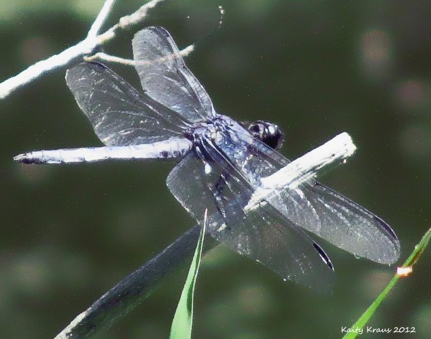 96-dragonflyHP-PUBS2