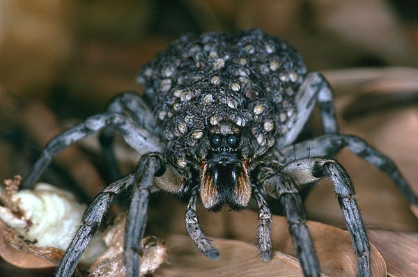 Carolina wolf spider with spiderlings, large