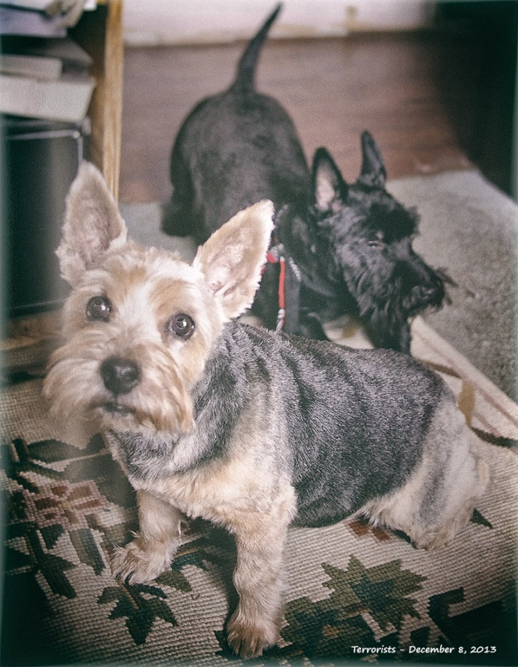 Two Terrier 7