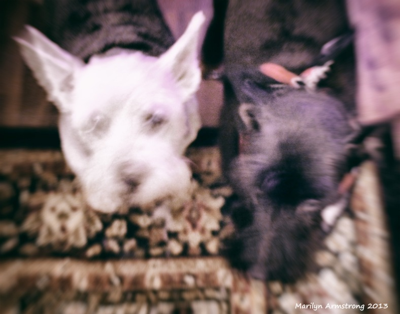 Two Terriers - Toy Camera