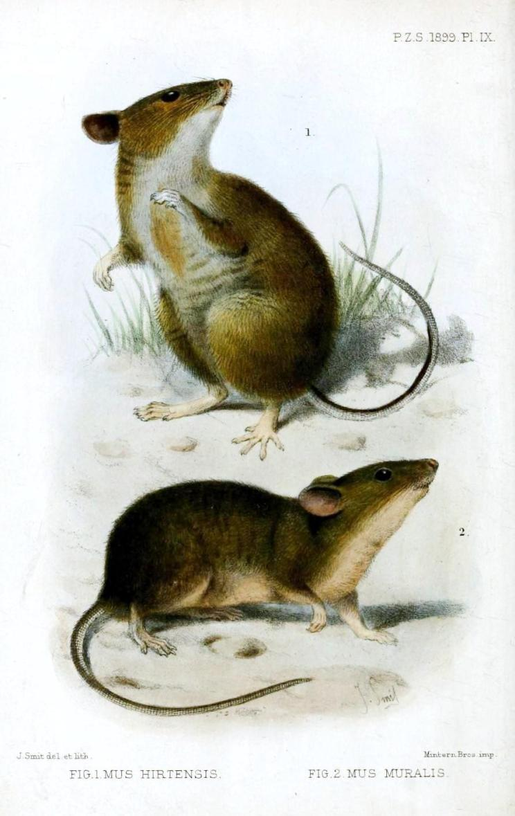 Animal-Woodland-Field-mice