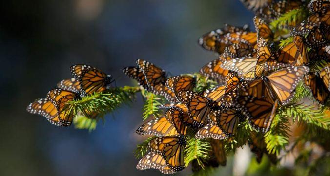 MonarchButterflies_20090910