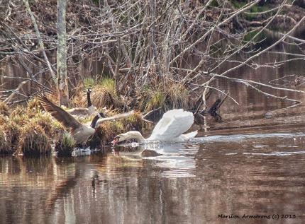 Swans battle geese