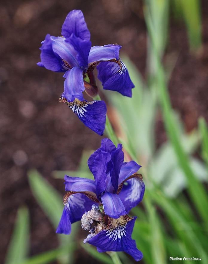 iris 74