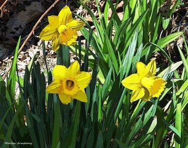 75-0414-2-daffodils