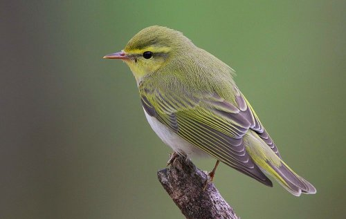 Wood_Warbler_(Phylloscopus_sibilatrix)