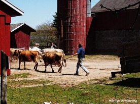 Moving the cows - Photo: Marilyn Armstrong