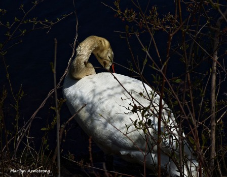 72-MAR More-Swans_130