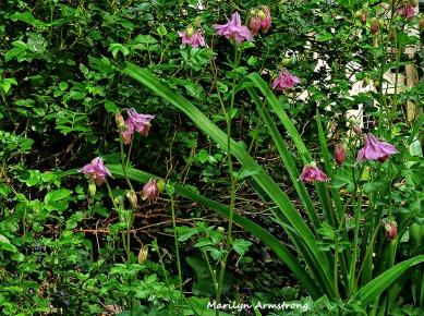 72-columbine garden