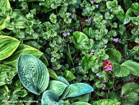 More mayflowers