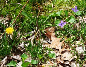 75-dandelion and mayflower
