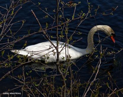 75-GAR-Swans_08-2