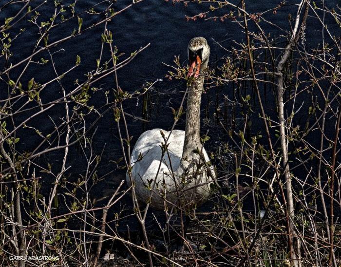 75-GAR-Swans_14