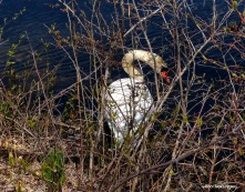 75-GAR-Swans_24