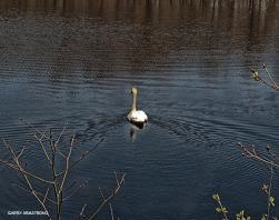 75-GAR-Swans_58