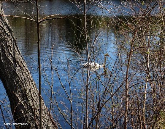 75-GAR-Swans_62