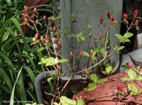 azalea buds