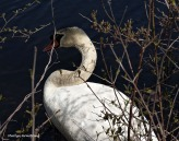 75-MAR More-Swans_133