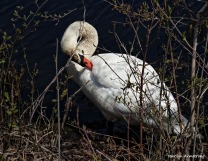 75-MAR More-Swans_135