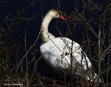 75-MAR More-Swans_145
