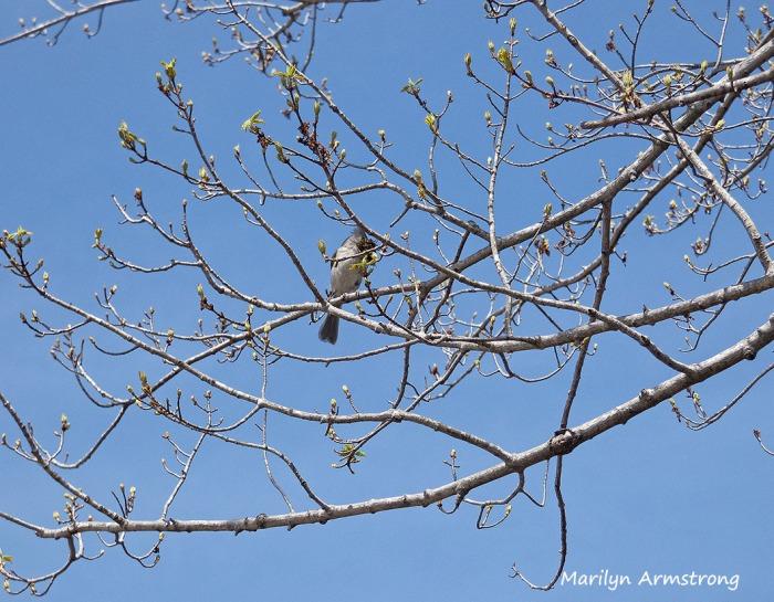 75-spring-songbird
