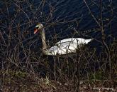 75-Swans-May2014_006