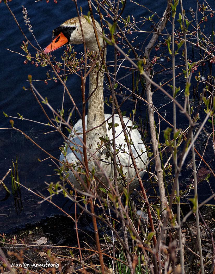 75-Swans-May2014_016